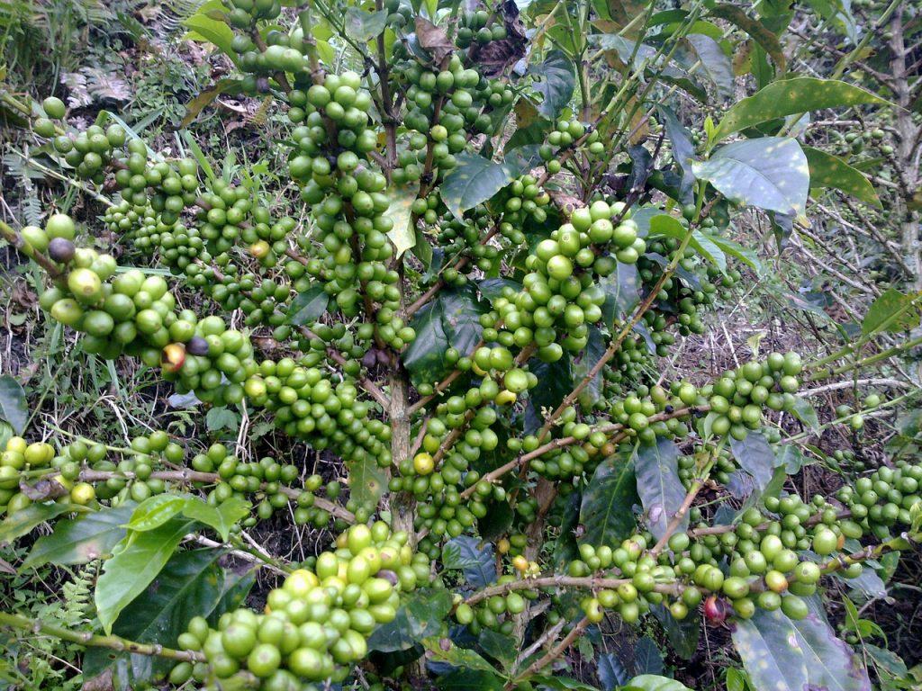 Le café vert est-il efficace pour maigrir ?