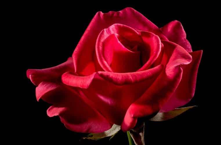 La rose éternelle : voici tous ses secrets !